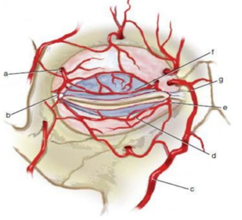Hình 12-1 Giải phẫu động mạch quanh ổ mắt
