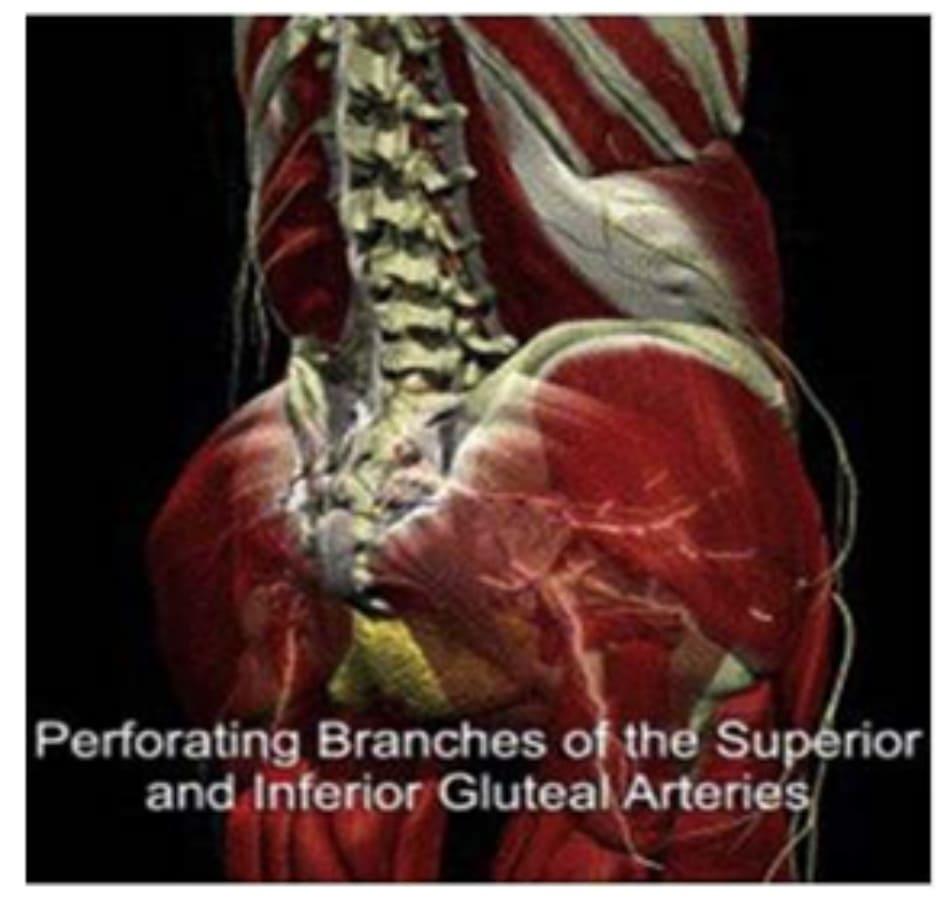 Hình 10. Động mạch mông trên, mông dưới và các nhánh thần kinh cùng.