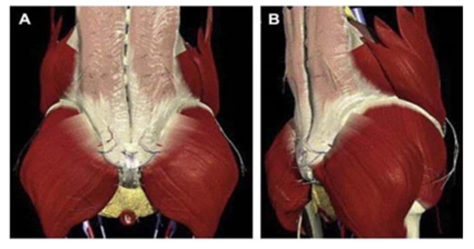 Hình 11. (A-B) Cơ mông lớn và các cấu trúc giải phẫu liên quan.