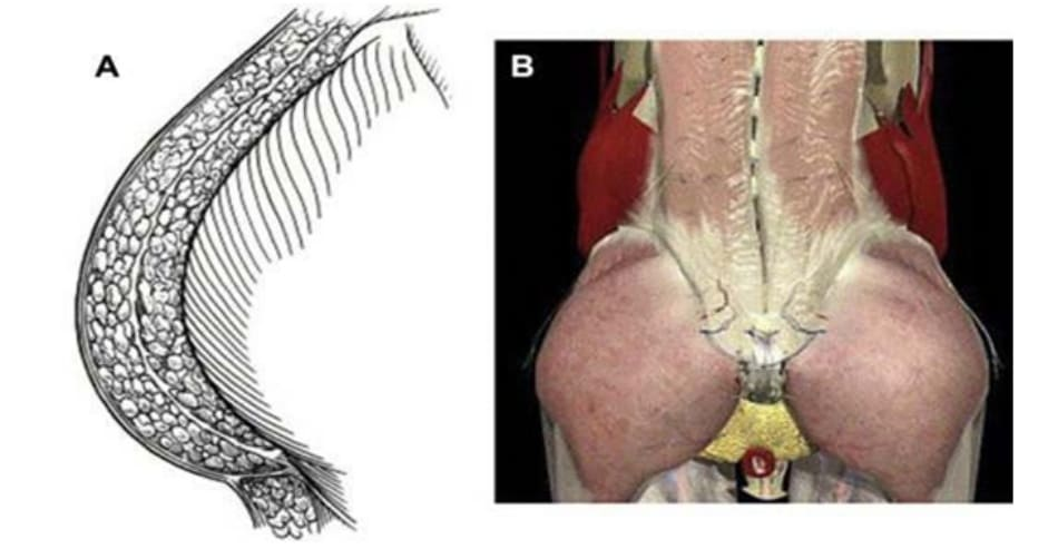Hình 7. Giải phẫu hệ thống vùng mông và các lớp cân. (A) Hình ảnh hệ thống các lớp cân sau khi đã loại bỏ các cấu trúc giải phẫu khác và (B) các lớp cân vùng mông cũng như thắt lưng chậu.